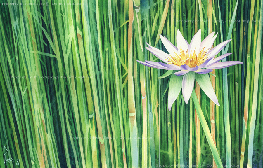 pierosgro-waterlily-watercolour_001new